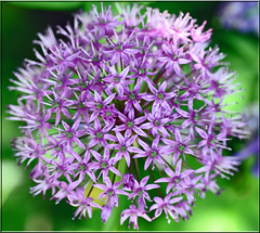 Allium - from above (littlestschnauzer) Tags: elementsorganizer11 flowers purple my garden mauve lilac allium flower sphere ball from above macro nature emley west yorkshire bulb nikon d5000 uk spherical pretty