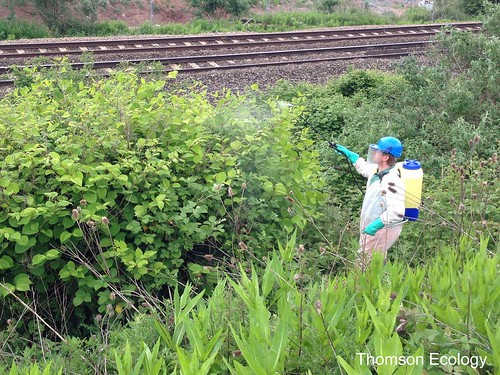 Spraying Japanese knotweed