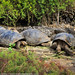 Giant Galapagos Tortoises at Darwin Research Centre - Santa Cruz, Galapagos