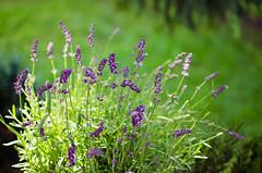fields of purple (sixthofdecember) Tags: flowers plants sunlight plant flower colour green nature grass sunshine garden outside nikon colours purple lavender sunny nikkor lavendel nikkor35mm nikond5100
