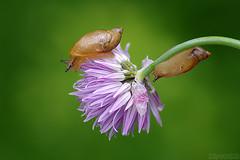 Lil' Explorers (Vie Lipowski) Tags: flower nature wildlife snail chives alliumschoenoprasum detritivore