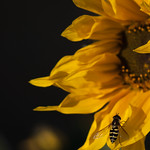 Sunflower with a wasp thumbnail