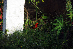 27 dcembre 2010 - Balade  l'Entre-Deux (Mafate79) Tags: voyage vacances cardinal oiseau 2010 larunion ploceidae foudiamadagascariensis ledelarunion entredeux plocid plocids