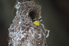 Yellow-bellied Sunbird (sontag1) Tags: bird sunbird yellowbelliedsunbird