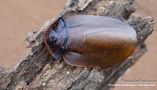 Barata Gigante - Petasodes dominicana (Blaberidae: Blaberinae) - fêmea