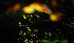 Ricketts Glen: Glowing leaves (Shahid Durrani) Tags: fall waterfall pennsylvania glen ricketts