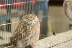 (sabamiso) Tags: bird tokyo owl      elmarit90mmf28 sonynex5r