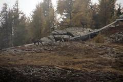 Wanderung zum Tessenberger See am 9.10.2013 (pilot_micha) Tags: oktober mountains alps animal tirol österreich october berge alpen tier aut wanderung osttirol säugetier bergwanderung gemse 2013 9102013