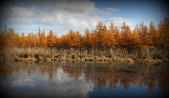 IMG_8559 (Mat_B) Tags: county autumn lake color reflection tree fall nature water yellow sepia forest photography golden illinois natural state walk volo crisp area bog preserve tamarack