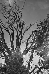 Eucaliptos erosionados (Rural Colectivo) Tags: david de viento sierra erosion gata alta montaña cáceres seco búho muerto corteza fotografía eucalipto extremadura garcía plasencia hoyos ferreiro desaparece