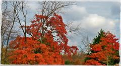 A Burst of Orange (MissyPenny) Tags: autumn trees orange leaves pennsylvania pdlaich missypenny