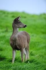 Point Reyes Deer (fauxtophile) Tags: nature grass marin doe deer pointreyes