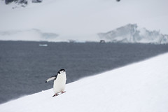 Antarctica - Day One0068 (GLRPhotography) Tags: moon island antarctica half 18200 chinstrappenguin