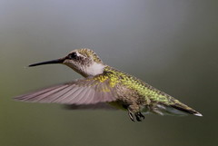On A Mission (Diane Marshman) Tags: brown white black green bird nature up birds dark flying back wings eyes long hummingbird close head pennsylvania wildlife small flight beak feathers picture belly pa upper spotted underneath ruby throat northeast northeastern in throated