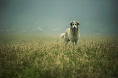 il guardiano (fedebio -) Tags: dog field animal cane fog sheep campo nebbia animali pecore