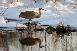 Crane Reflection_48041.jpg