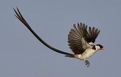 Pin-tailed Whydah (Vidua macroura) ♂ (Ian N. White) Tags: gaborone botswana pintailedwhydah viduamacroura specanimal avianexcellence