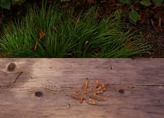 Leaf (Samantha Evans of Samantha Evans Photography) Tags: wood brown green nature grass yellow gardens canon ga bench georgia botanical wooden leaf oak grain knot oakleaf botanicalgardens mica woodenbench tamron1750 canon60d gibbsgardens micaga