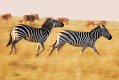 Running With Wildebeest (andrewrosspoetry) Tags: africa zebra mygearandme mygearandmepremium mygearandmebronze