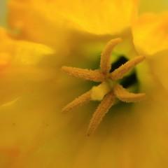5765 (Marbeck53) Tags: plant flower macro canon eos petals flora backyard cincinnati stamen daffodil oh narcissus 60d marbeck53 markriesenbeck