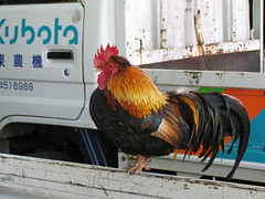 (  / Yorozuna) Tags: chicken birds     longcrower