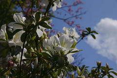 _Q9R5636-1 (Dream Deliver) Tags: cherry blossoms rhododendron planch simsii