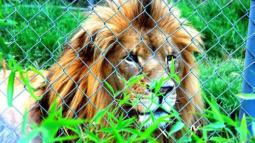 vida actual leones 4