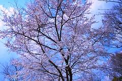 Ususumi-sakura (love_child_kyoto) Tags: flowers spring kyoto  sakura cherryblossoms botanicalgarden    masterphotos  artisticflowers takenwithlove eperke nikond800  mindigtopponalwaysontop  lovelyflickr d800 dreamlikephotos takenwithhardwork lovelynewflickr pandaonflickr ususumisakura usuzumizakusa