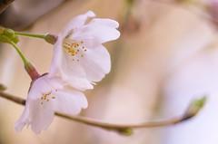 S A K U R A (Shiger Miy) Tags: flowers nature beautiful japan cherry japanese spring blossoms sakura