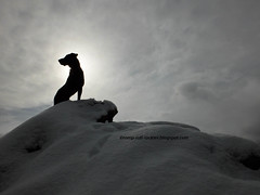 On Top of Snowy Peak (KB RRR) Tags: dog snow nature colorado rockymountains frontrange chocolatelabrador shyla
