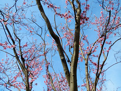 Cherry Blossoms (shaire productions) Tags: pink summer flower tree nature floral beauty season asian japanese spring natural branches seasonal blossoms chinese growth korean bloom cherryblossoms blooming peachblossoms strees flowerblossoms