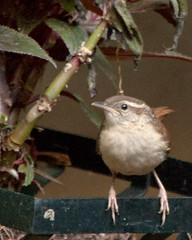 Carolina Wren (3) (tommaync) Tags: bird nature animal nc nikon wildlife may northcarolina wren carolinawren 2014 chathamcounty d40