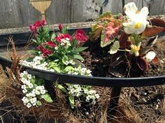 garden (thirteensparrows) Tags: garden sweetwilliam coleus sweetalyssum backyardcontainer