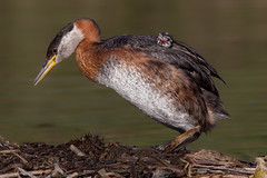 Red necked grebe and baby (Phiddy1) Tags: ngc npc specanimal