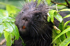 Weekend Visitor (Anna E. Cramer) Tags: nature animals alaska critter wildlife teeth porky porcupine alaskan babyanimals wildlifephotography