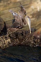 20140707-BK2W0794-Edit-Edit (Swaranjeet) Tags: pelican pelicans galapagos ecuador bird largebirds july2014 canon fullframe 1dx eos1dx dslr sjs swaran swaranjeet swaranjeetsingh sjsvision sjsphotography swaranjeetphotography 2014 eos canoneos1dx 35mm canonef70200f28lisiiusm ef 70200 f28 is singh photographer thane mumbai india indian