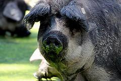 woolly pig (overthemoon) Tags: summer lake hot green animals schweiz switzerland pig pond suisse lausanne svizzera slimy animalpark vaud romandie sauvabelin woollypig