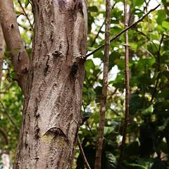 Sad About the Stick in His Eye (tamracamera23) Tags: tree nature face forest outdoors woods florida bark treebark botanicalgarden floridakeys keylargo dagnyjohnson botanicalstatepark keylargohammock