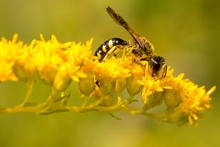 Square-headed Wasp - Lestica