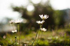 descendants of the sun [EXPLORE] (eyenamic) Tags: flower blossom nature light bokeh daisy sun kausani uttarakhand nikon d5100 throughherlens
