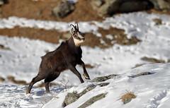 Camosci5 (Lunghefocali.snc) Tags: camoscio rupicaprarupicapra dolomiti valdifiemme trentino altamontagna biancoenero wildlife nature