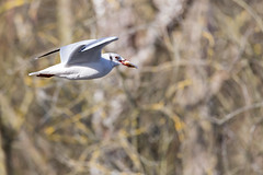 A table! - Lunch is ready! (bboozoo) Tags: nature wildlife animal mouette seagull canon6d tamron150600 pain bread arbre tree