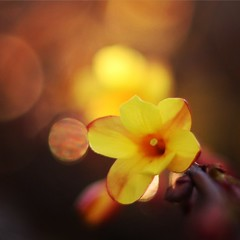 Spring is in the air (Pascal Dentan) Tags: haveaniceday unlimited macro jardin garden branche motherearth nature bourgeon printemps spring jaune fleur flower ha