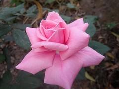 Rose 2017/02/19  domain :- #Eukaryota  kingdom :- #Plantae  unranked :- #Angiosperms  unranked :- #Eudicots  unranked :- #Rosids  order :- #Rosales  family :- #Rosaceae  subfamily :- #Rosoideae  genus :- #Rosa                  The genus Rosa is subdivided (kalyanashissinha8678) Tags: rosales maju আমারগ্রাম rosoideae rosids eukaryota আমারচোখে rosaceae eudicots plantae ফুল angiosperms গোলাপ rosa