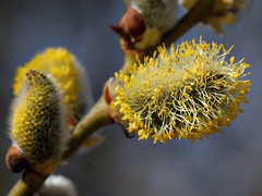 Bourgeon de saule Marsault (JMVerco) Tags: macro printemps spring primavera coth flickrchallengegroup