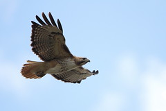 Red-tailed hawk (jlcummins - Washington State) Tags: bird yakimacounty washingtonstate redtailedhawk