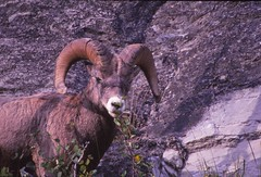 IMG_0033 (Rock Rabbit Photo) Tags: scans sheep horns bighorn rams slides