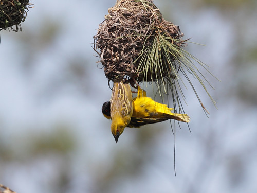 Black-headed Weaver 黑頭織布鳥