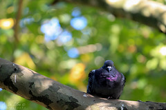 IMG_6015 (A. De Silva) Tags: trees tree green bird relax branch relaxing calm rest resting pidgeon