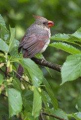Brunch in the rain. (carolyn747) Tags: nature birds female woods cardinal wildlife wv mulberry mulberries redbird mulberrytree